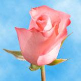 Livia Roses