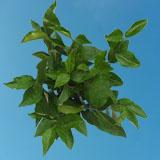Ligustrum Greenery for Floral Arrangements