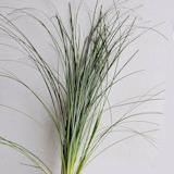 Lily Grass Bear Grass