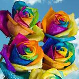 Multicolor Rainbow Roses