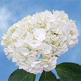 Premium White Hydrangeas