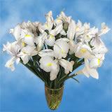 White Casablanca Iris