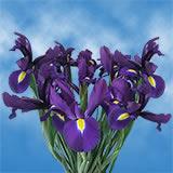 Blue Telstar Iris