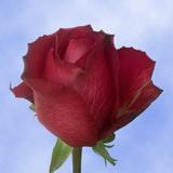 Matilda Roses