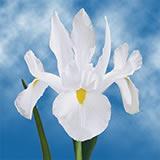 200 White Iris Flowers                                                              For Delivery to Corvallis, Oregon