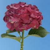 Raspberry Hydrangeas