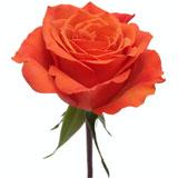 Hilux Orange Rose