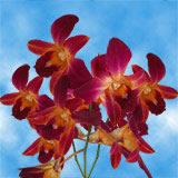 Orange Sonia Orchids