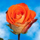 Garota Roses