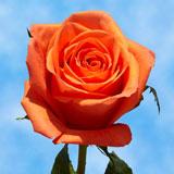 Mothers Day Orange Roses