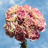 Antigua Bi-Color Carnations