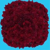 350 Stems of Burgundy Zurigo Carnations                                                              For Delivery to Hood_River, Oregon