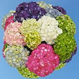 40 Premium Assorted Hydrangea Flowers                                                              For Delivery to Hillsboro, Oregon