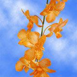 70 Orange Yubkuan Mokara Orchid Flowers                                                              For Delivery to Oak_Harbor, Washington