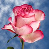 Carrousel Roses