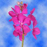 70 Pink Calypso Mokara Orchid Flowers                                                              For Delivery to Scranton, Pennsylvania