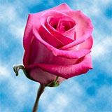Purple Cezanne Roses