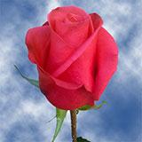 Malena Roses