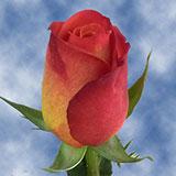 Fiction Roses