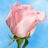 Light Orlando Roses