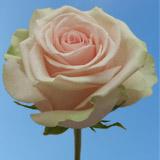 Salma Roses