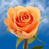 Cuenca Roses