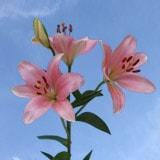 Pink Oriental Lilies