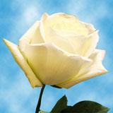 Polo Roses