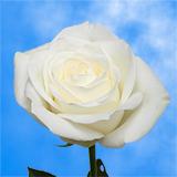 Sugar Doll Roses