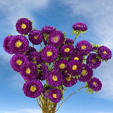 Purple Aster Matsumoto Globalrose