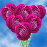 100 Burgundy Ranunculus                                                              For Delivery to Loveland, Colorado