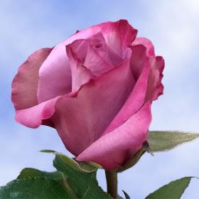 Real Roses Dark Purple Colors Roses Flowers 50 Deep Purple Roses