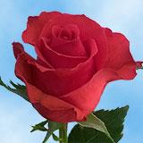 Red Unique Roses