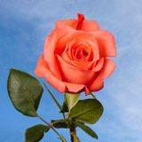 Movie Star Roses