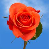 Salmon Roses