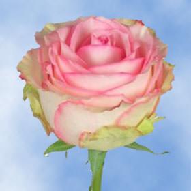 send esperance roses globalrose