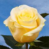 150 Long Stemmed Creme de la Creme Roses                                                              For Delivery to Butler, Pennsylvania
