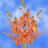 70 Aom-Yai Mokara Orchid Flowers                                                              For Delivery to Oregon_City, Oregon