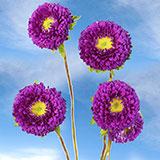 Send Purple Aster Matsumoto Flowers