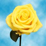 Sonrisa Roses