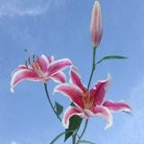 Stargazer Oriental Lilies
