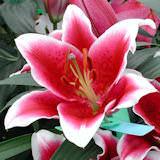 20 Stems of Stargazer Oriental Lilies 80 Blooms                                                              For Delivery to Hazleton, Pennsylvania
