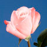 Sweet Pink Online Roses