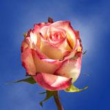 Tormenta Roses