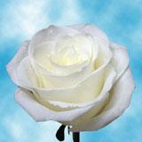 Valentine's Day White Roses