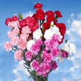 Valentine's Day Mini Carnations