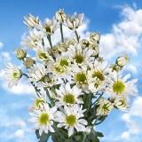 White Daisy Pom Poms