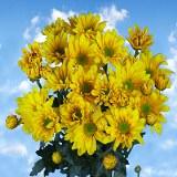 Yellow Daisy Pom Poms