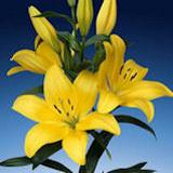 Buy Yellow Asiatic Lilies