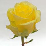 Minion Yellow Rose